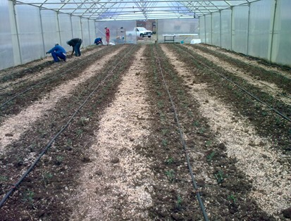 Tomato Seedlings in High Tunnel