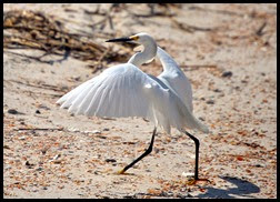 01a5- Nature - Snowy Egret