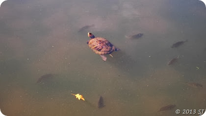 A turtle floating among fish
