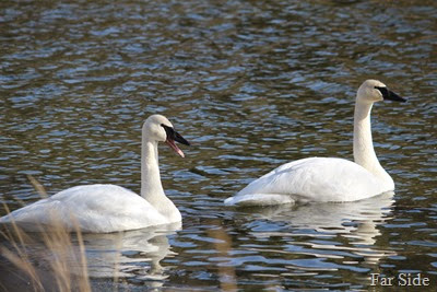 Two old swans