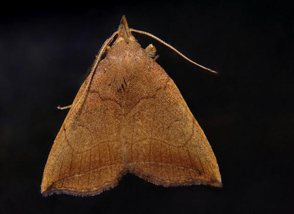Herminiidae : Simplicia armatalis WALKER, 1866. Umina Beach (NSW, Australie), 23 septembre 2011. Photo : Barbara Kedzierski