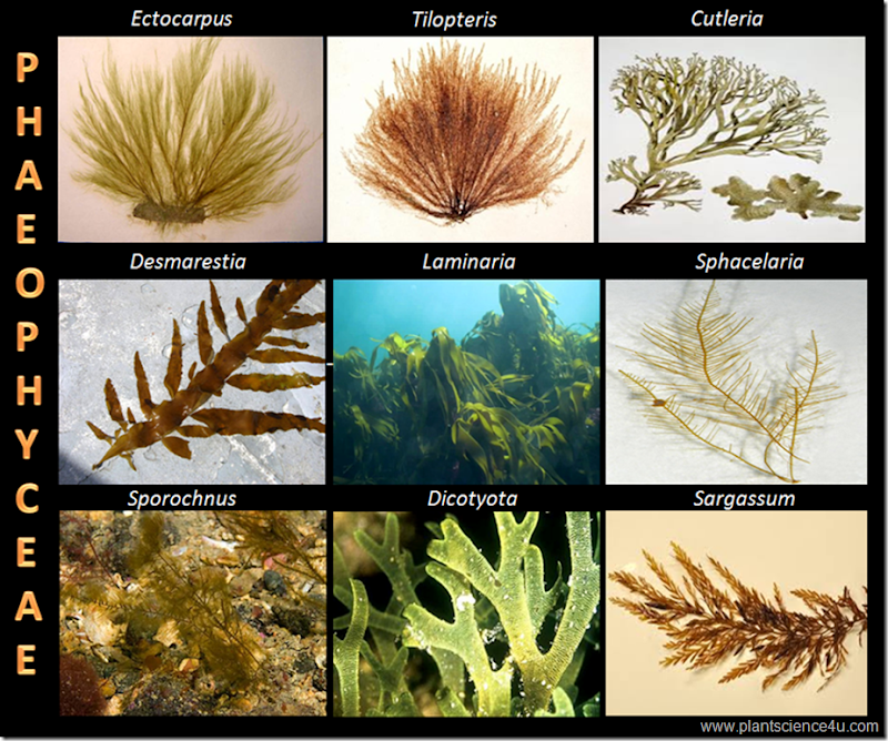 Example of Brown algae (Phaeophyceae)