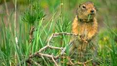 female-arctic-ground-squirrel