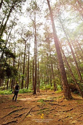 Camp John Hay's Pine Forest