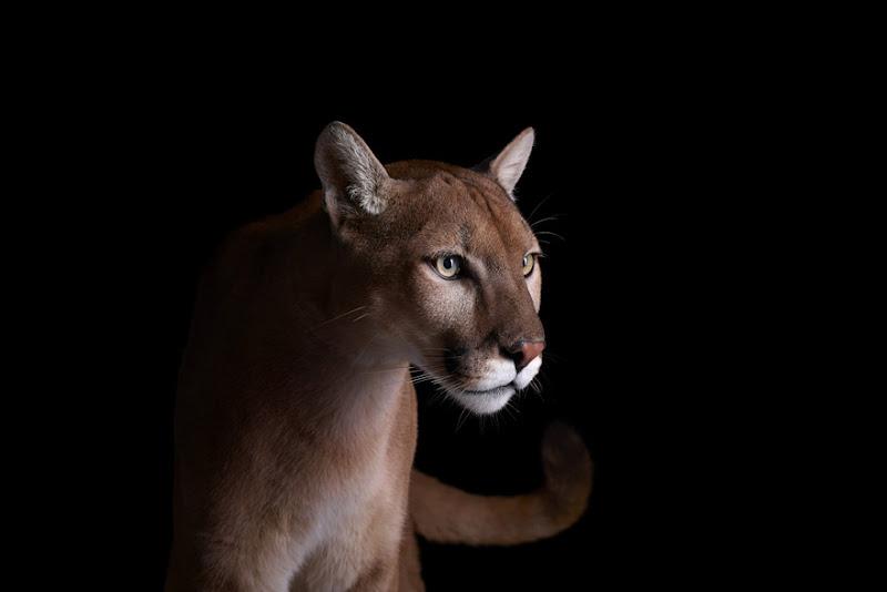animal-photography-affinity-Brad-Wilson-mountain-lion-3.jpeg