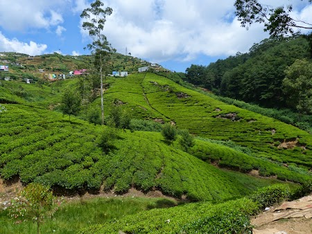 13. Plantatii de ceai - Sri Lanka.JPG