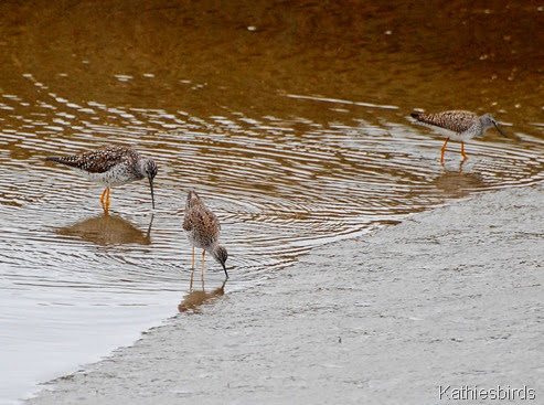 21. yellowlegs-kab