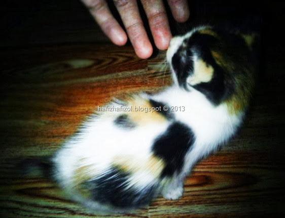 anak kucing warna tompok