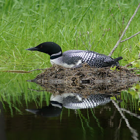 Reflections of a Loon by Susan Fries - Animals Birds ( bird, reflection, nest,  )