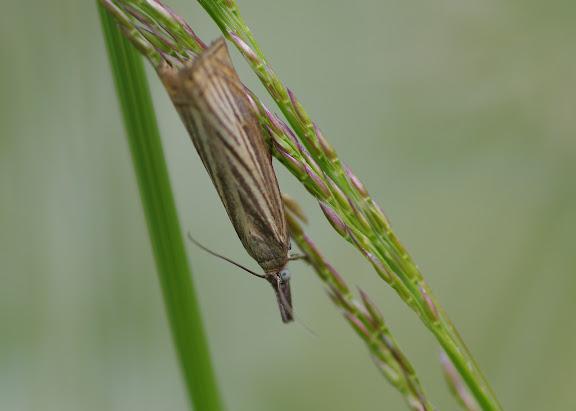 Crambidae : Crambinae : Chrysoteuchia culmella (LINNAEUS, 1758). Les Hautes-Lisières (Rouvres, 28), 14 juin 2012. Photo : J.-M. Gayman