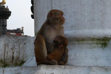 Maimuta alaptand puiul