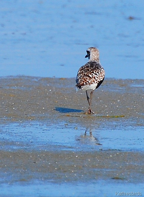 3. black-bellied plover-kab