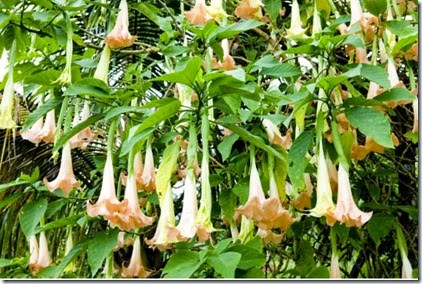 angels_trumpets.jpg.size.xxlarge.letterbox