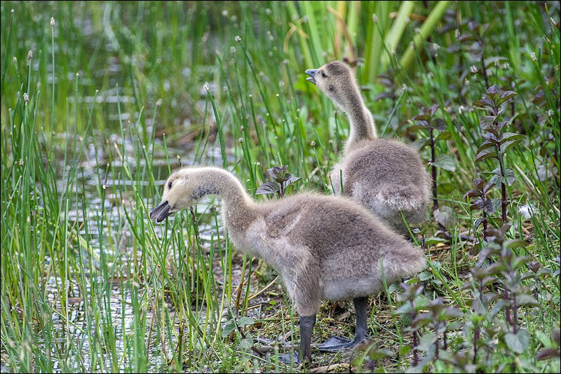 Canada Goose chicks, Sigma 500mm f4.5