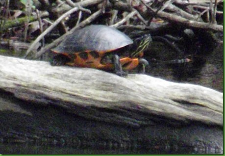 red bellied slider