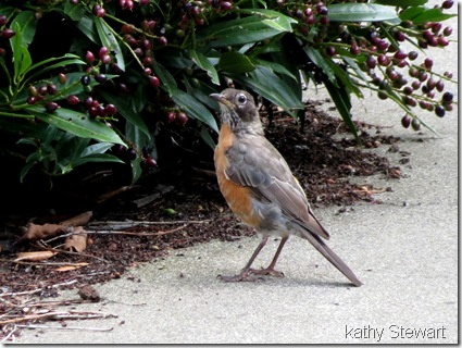 American Robin almost an adult