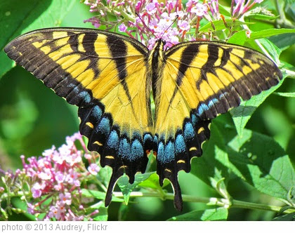 'Eastern Tiger Swallowtail Butterfly' photo (c) 2013, Audrey - license: https://creativecommons.org/licenses/by/2.0/