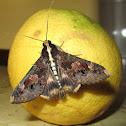 Beer / Sundowner moth