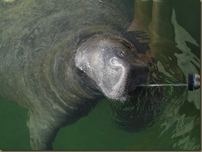 Manatee at Sunshine key Marina