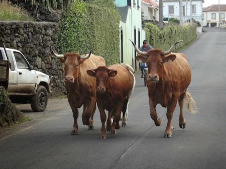 44. Vaci din rasa de Azore.JPG