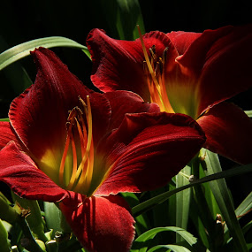 Ruby Red by Mario J - Flowers Flower Gardens ( red wine, day lily, light, , red, green )