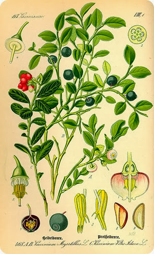 mirtillo-Illustration_Vaccinium_myrrtillus