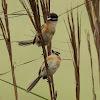 Papa-moscas-do-campo (Sharp-tailed Tyrant)