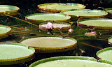 Enormous water lily