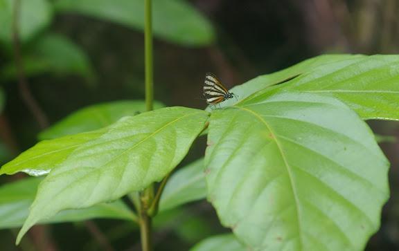 Arawacus aetolus SULZER, 1776. Saut Athanase. 19 novembre 2011. Photo : J.-M. Gayman