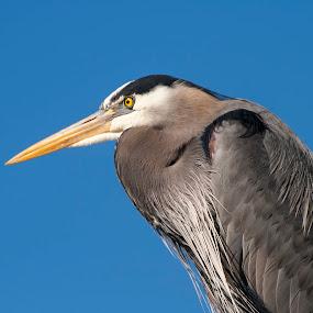 Great Blue Heron by Anita Elder - Animals Birds ( bird, fowl, blue, heron )