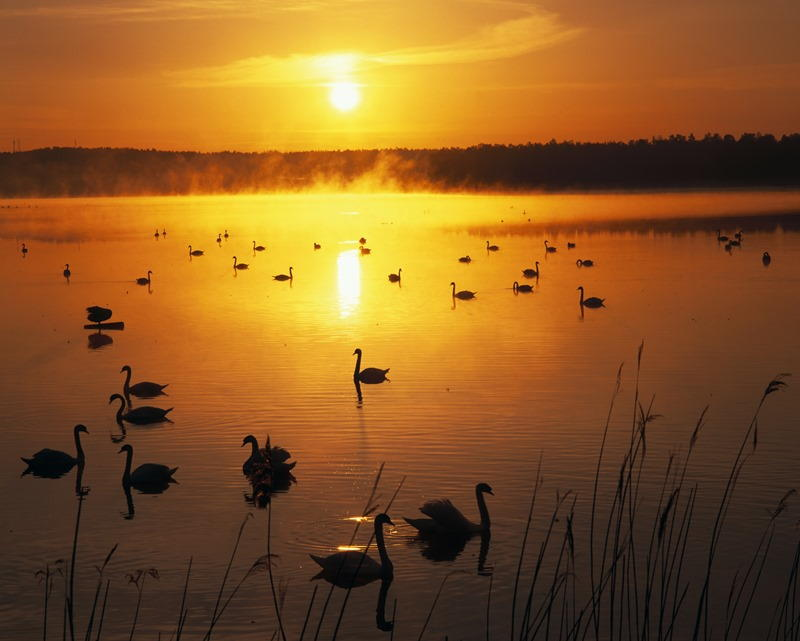 Swans at sunset Finland
