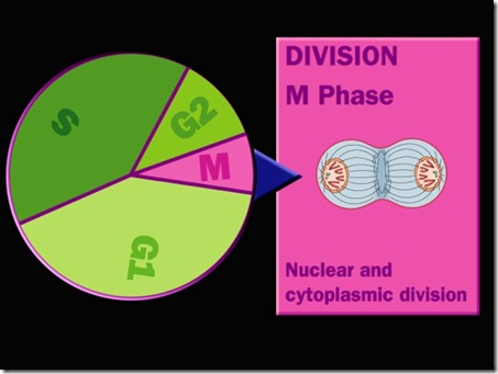 Cell cycle Division M phase