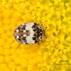 Anthrenus beetle