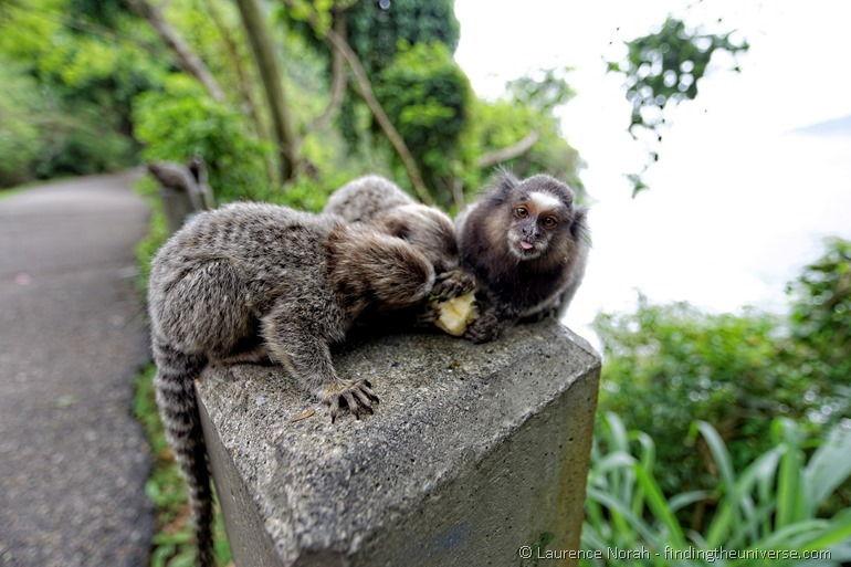 Monkey Tongue Rio