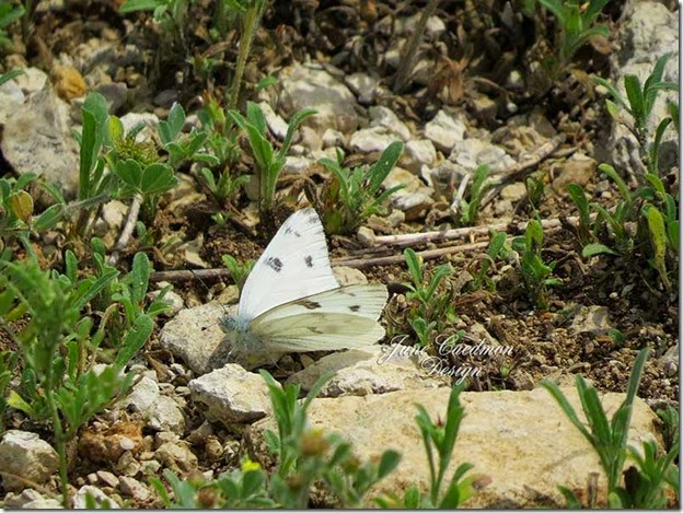 Checkered_White_Butterfly2