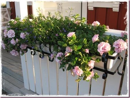 Stor Lene's hus og hage: Å lage egne petunia-ampler CL-67