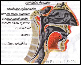 fosas nasales imagenes