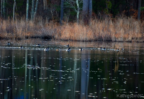 4. ring-necked ducks-kab