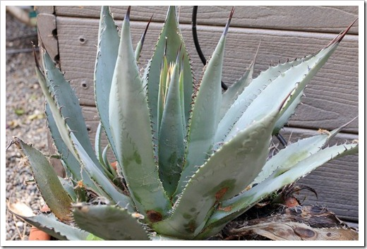 130503_Agave-parryi-with-flower-spike_02