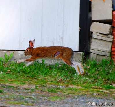 6. Snowshoe Hare-kab