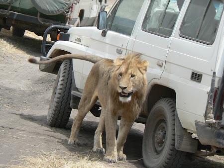 Safari Tanzania: leu la vanatoare in Ngorongoro