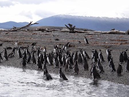 Tara de Foc: Pinguini in Tara de Foc