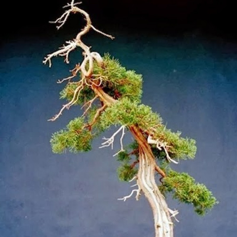 The Ancient Art of Bonsai: Gallery Junipers (Part 1).