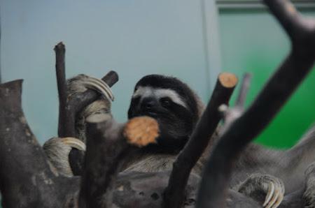 Fauna Costa Rica: Lenes cu 3 degete