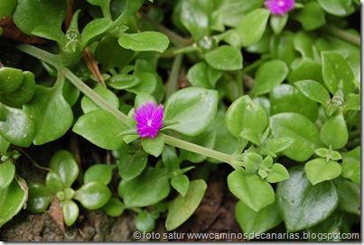 0574 Barranco Azuaje(Aptemia cordifolia-Corazón)