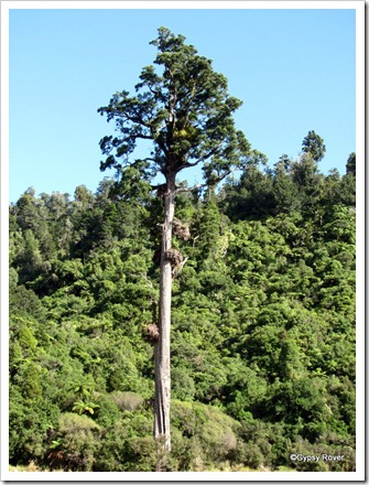 Kahikatea or White Pine which has no scent or odour.