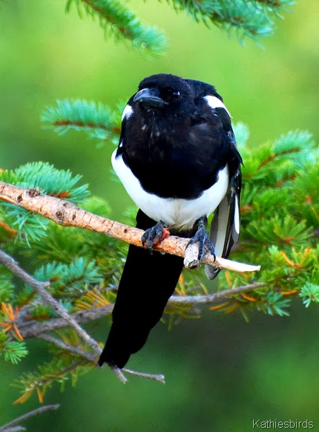 14. magpie-kab