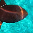 Black Durgon (Triggerfish)