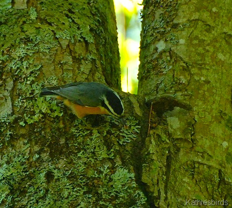 3. red-breasted nuthatches-kab
