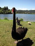 North Island - a black swan